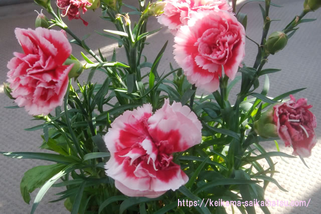 カーネーションの鉢植えを来年も咲かせる世話や植え替え方法。母の日プレゼントの育て方